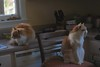 The game is simple. (rootcrop54) Tags: orange cats jimmy longhair longhaired otis dilute male cat multiple ignoring neko macska kedi 猫 kočka kissa γάτα köttur kucing gatto 고양이 kaķis katė katt katze katzen kot кошка mačka gatos maček kitteh chat ネコ