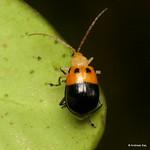 Leaf beetle, Isotes sp., Chrysomelidae thumbnail