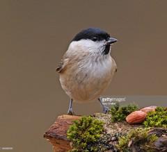 Marsh Tit (Gary Chalker, Thanks for over 3,000,000. views) Tags: marshtit tit bird pentax pentaxk3ii k3ii pentaxfa600mmf4edif fa600mmf4edif fa600mm 600mm