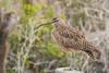 Whimbrel 500_4671.jpg (Mobile Lynn) Tags: nature birds whimbrel wild bird fauna numeniusphaeopus wildlife puertoayora islasgalápagos ecuador ec