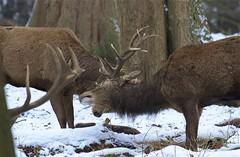 IMG_9836 (Sula Riedlinger) Tags: deer reddeer reddeercervuselaphus cervuselaphus redstag reddeerstag stag antlers greaterlondonwildlife greaterlondon greaterlondonparkswildlife londonwildlife londonroyalparks londonparkswildlife mammal nature nationalnaturereserve richmondpark royalparks royalpark surrey surreywildlife urbanwildlife urbannature ukwildlife uknature ukmammal