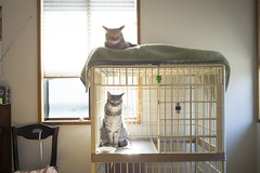 Brothers cat waiting quietly for a meal by mokuu - ねこ / LEICA MP × SUMMICRON-M 28mm F2 ASPH. / JB C3 11 002 / mokuu.cc/2018/03/post-407.html