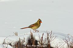 IMG_3948 (nitinpatel2) Tags: winter bird snow nature nitinpatel