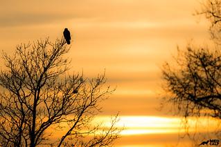 Buzzard enjoying the sunset last night sunset