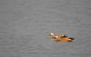 Rudy Shellducks (pointn'click) Tags: kaziranga forest wildlife sanctuary birds