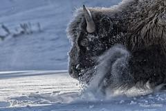 yellowstone en hiver , bison dans la neige (PHILCABA) Tags: bison bisonaméricain bovidae usa yellowstone