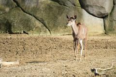 Jeune grand koudou (olivier.ghettem) Tags: zoodeparis zoodevincennes zoo parczoologiquedeparis paris afrique africa grandkoudou animal antilope mammifère herbivore
