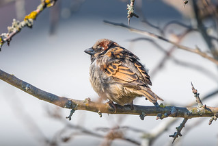 Juvenile House Sparrow