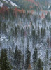 White Coated Forest (jojo (imagesofdream)) Tags: yosemite california snow douglas fir