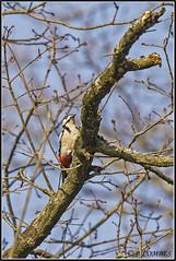 _DSC0176_Pic épeiche (patounet53) Tags: dendrocoposmajor greatspottedwoodpecker picépeiche picidés piciformes bird oiseau