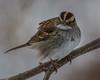 White-throated Sparrow [Zonotrichia albicollis] (Fred Roe) Tags: nikond7100 nikkorafs80400mmf4556ged nikonafsteleconvertertc14eii nature wildlife birds birding birdwatching birdwatcher sparrow whitethroatedsparrow zonotrichiaalbicollis peacevalleypark