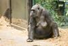 2018-03-06-10h48m35.BL7R0313 (A.J. Haverkamp) Tags: canonef100400mmf4556lisiiusmlens shindy amsterdam noordholland netherlands zoo dierentuin httpwwwartisnl artis thenetherlands gorilla sindy pobrotterdamthenetherlands dob03061985 nl