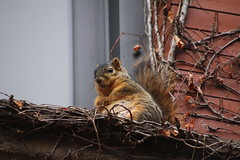 Winter Squirrels in Ann Arbor at the University of Michigan (March 5th and 6th, 2018) (cseeman) Tags: gobluesquirrels squirrels annarbor michigan animal campus universityofmichigan umsquirrels03062018 winter eating peanut marchumsquirrel latewinter