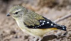 Spotted Pardalote 2018-03-04 (7D_182A3187) (ajhaysom) Tags: spottedpardalote pardalotuspunctatus woodlandshistoricpark providencedam greenvale melbourne australia australianbirds canoneos5dmkiii tamron150600mmf563divcusdg2