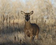 White-tailed deer Buck That Lost His Antlers (fethers1) Tags: rockymountainarsenalnwr rmanwr rmanwrwildlife coloradowildlife deer whitetaileddeer whitetaileddeerbucks