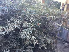 Mallotus philippensis_Hatgad Saptashrungi3 (Alka Khare) Tags: mallotus euphorbiaceae