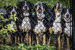The Welcoming Committee for the In-Laws (photocat001) Tags: dogs fierce canine mammals fear fence rottweiler