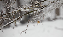Snowstorm in progress (Violet aka vbd) Tags: pentax k3 vbd hdpentaxda55300mmf4563edplmwrre ct connecticut snow newengland leaf snowstorm branch trumbull 2018 winter2018 handheld bokeh manualfocus
