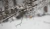Snowstorm in progress (Violet aka vbd) Tags: pentax k3 vbd hdpentaxda55300mmf4563edplmwrre ct connecticut snow newengland leaf snowstorm branch trumbull 2018 winter2018 handheld bokeh manualfocus