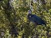 Hiding out. (JKBfoto) Tags: green mangrove bird trees nature heron