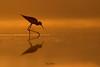 Where gold speaks every tongue is silent.. (Irtiza Bukhari) Tags: lake pond searchingfood one wildbird wildlifeofpakistan blackwingedstilt birdsofpakistan jewels puregold gold silhouette nature beauty pakistan wwf irtizabukhari bukhari irtiza