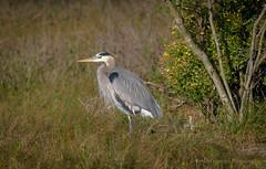 Great Blue Heron (Kevin James54) Tags: nikond850 tamron150600mm wilmington animals ardeaherodias avian bird fortfisher greatblueheron heron kevingianniniphotocom