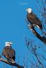 Bald Eagles of the Jersey Shore   2018 - 35 (RGL_Photography) Tags: americanbaldeagle baldeagle birding birds birdsofprey birdwatching eagle freedom gardenstate godblessamerica haliaeetusleucocephalus jerseyshore monmouthcounty newjersey nikonafs600mmf4gedvr nikond500 raptors symbolofamerica us unitedstates wildlife wildlifephotography