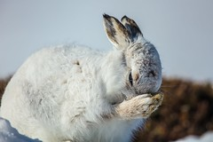 No One Likes a Cold Nose! (Phil Gower Bird Photography) Tags: mountain hare cold nose findhorn