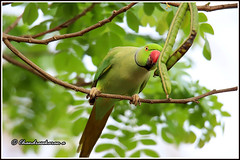 7692 - parakeet (chandrasekaran a 47 lakhs views Thanks to all) Tags: parakeet birds nature india chennai canoneos6dmarkii tamronsp150600mmg2