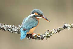 Female Kingfisher (bilska.anna) Tags: