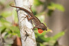 Brown Anole trying to attract a mate 500_6704.jpg (Mobile Lynn) Tags: nature reptiles lizard brownanole fauna reptile wildlife naples florida unitedstates us coth specanimal coth5 ngc npc
