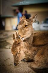 Mother's Love (Jorge Císcar) Tags: animal chugoku fauna hiroshima nikond610 tamron2470mmf28vc fotografíadeviaje travelphotography japón japan ciervo deer miyajima itsukushima viaje travel
