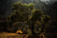 'I think that I shall never see ... ' (Canadapt) Tags: tree arizona grandcanyon backlight canadapt