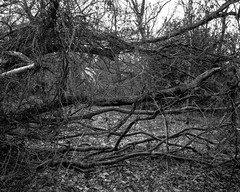 Cut Branches and Ivy Vines (Hyons Wood) (Jonathan Carr) Tags: ancient woodland rural northeast landscape abstract black white bw monochrome largeformat 4x5 5x4 toyo45a tree trees
