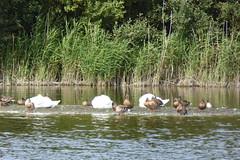 P1030238 - SAINT-QUENTIN EN TOURMONT / Parc du Marquenterre (michel91530) Tags: parcdemarquenterre saintquentinentourmont somme baiedesomme picardie hautsdefrance tz60