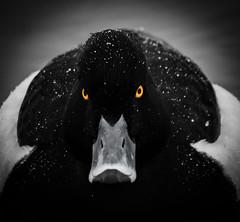 Angry bird (MortenTellefsen) Tags: bird angry duck yellow norway nature norwegian toppand tufted eyes