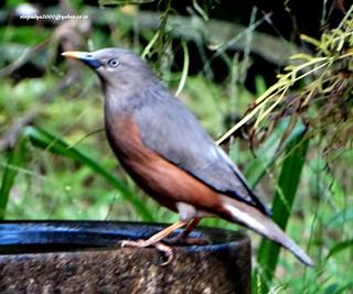 DSC00585 Chestnut-tailed Starling (Sturnus malabaricus)