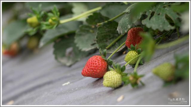 善化草莓 來去晴空農場找無農藥栽種的草莓 (9)