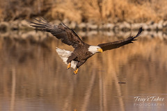Bald Eagle makes the catch - 17 of 33
