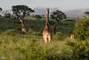 DSC_6032.jpg (jicehef) Tags: animaux afriquedusud2018 girafe voyages nomcondo kwazulunatal afriquedusud za