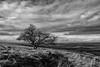 Lonely Bush (littlenorty) Tags: blackwhite england europe fujixt20 gear landscape lone nature oxfordshire plants trees type unitedkingdom whitehorsehill fuji1655