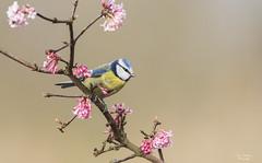 Blue Tit (ronwestbroek2) Tags: pimpelmees vogels nature wildlife