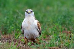 Ferruginous Hawk (Thy Photography) Tags: ferruginoushawk nature animal bird birdofprey outdoor wildlife california backyard photography raptor hawk