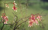 The Promise of Spring (Charles Opper) Tags: canon georgia spring color life light maple nature poetry seeds soft wingedseeds