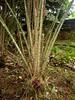 Salakpalme, Salacca zalacca (Eerika Schulz) Tags: salakpalme salacca zalacca palme salak frucht früchte fruits puyo ecuador palm
