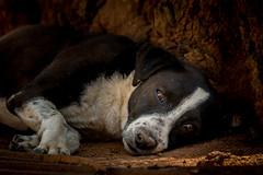 cachorro de rua - mutt dog (Marcelo Alves - Fotógrafo) Tags: belohorizonte praça praçaduquedecaxias marceloalves marceloalvesfotografo dog mutt cachorro viralata