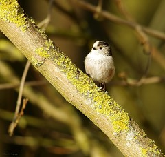 long tail tit  (4) (Simon Dell Photography) Tags: long tail tit bird cute small tiny sheffield shirebrook valley nature reserve simon dell photography 2018 march spring summer s12 wild wildlife birds animals south yorkshire england uk english countryside pentax k50 sample