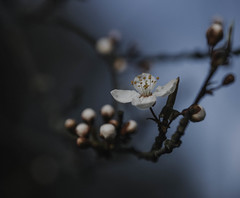 spring in my step... (jess feldon photography) Tags: nature blossoms march macro dof depth lookslikefilm jessfeldon trees sky sunshine growth buds petals flowers spring naturecrap