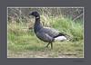 ROTGANS (FotoRoelie.nl) Tags: watervogels ganzen rotgans