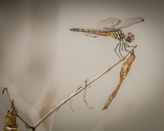 The Dragonfly Is Ready For Takeoff (that_damn_duck) Tags: nature insect dragonfly twig leaves